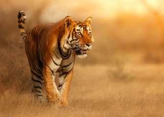 Złoty Trójkąt z tygrysem Indie, Wyc. objazdowe